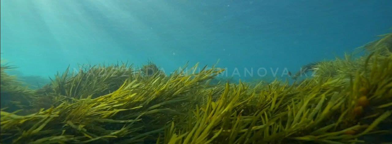 Сине - зеленые Водоросли АФА озера Кламат