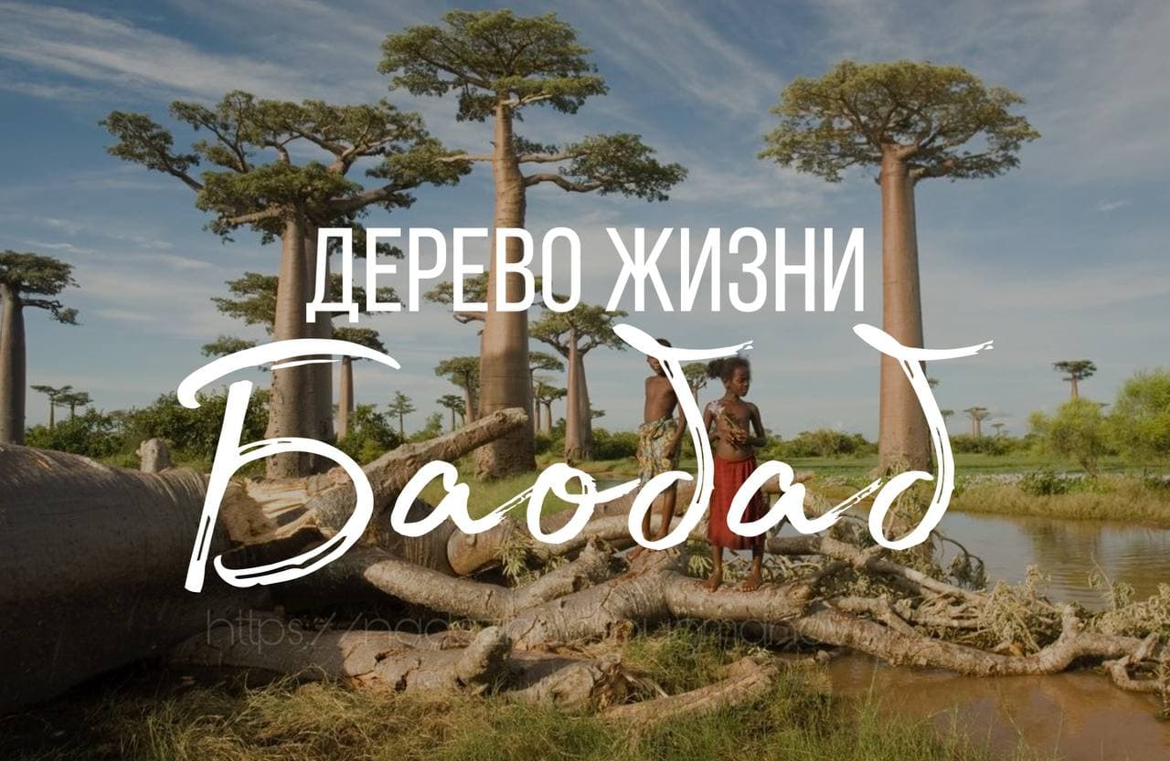 Баобаб удивительное дерево жизни